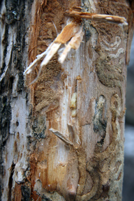 EAB pupa found in a tree